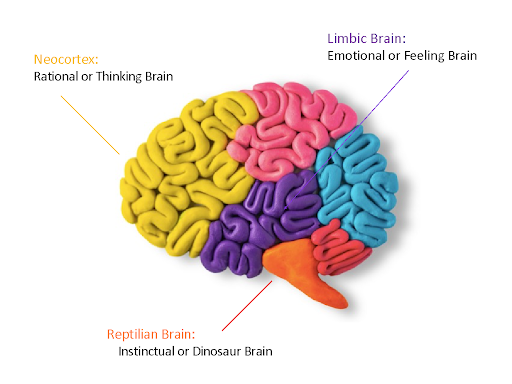 sections of the brain